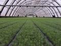 gran-plantering